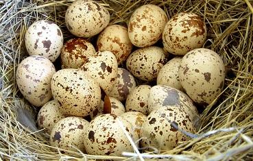 Перепелиные яйца натощак: польза и вред